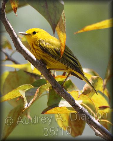 Aad-YellowWarbler-5-20-10-4723