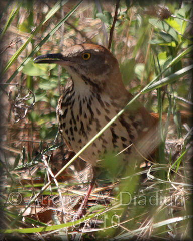 Aad-BrownThrasher-5-20-10-4660