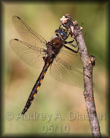 Aad-dragonfly-5-23-10-4777