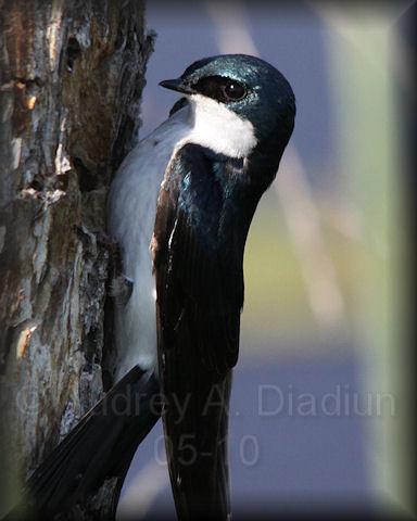 Aad-TreeSwallow-5-27-10-5502