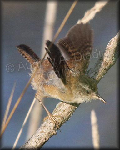 Aad-MarshWren-immature-9-12-09-4018