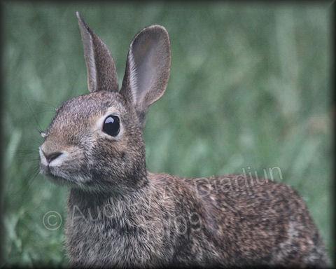Aad-rabbit-9-26-09-4266