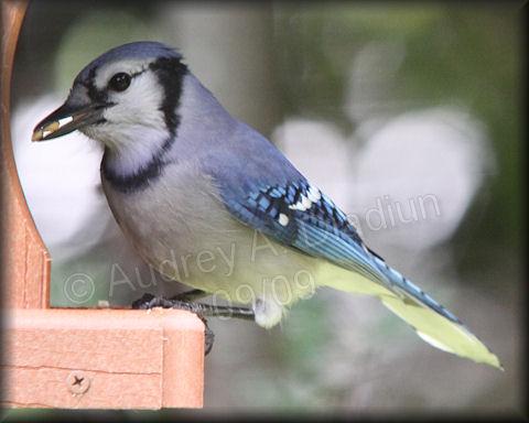 Aad-BlueJay-9-27-09-4342