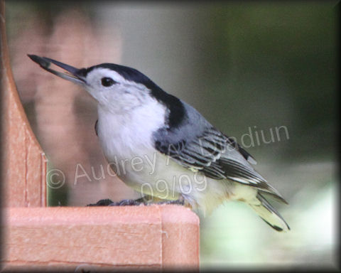 Aad-White-BreastedNuthatch-9-27-09-4335