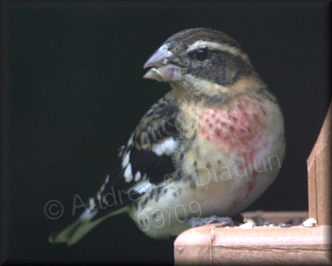 Aad-Rose-BreastedGrosbeak-9-29-09-4381