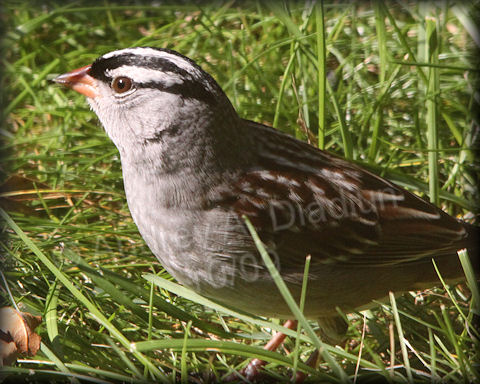 Aad-White-CrownedSparrow-10-01-09-4485