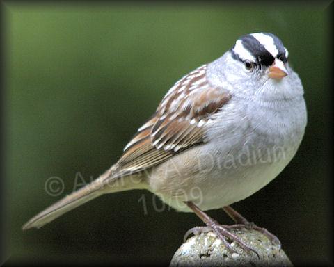Aad-white-crownedSparrow-10-3-09-4602