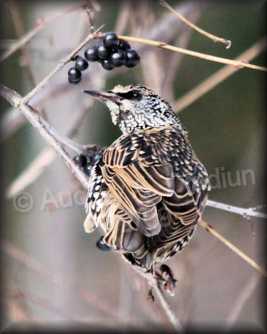 Aad-EuropeanStarling-12-11-09-6267