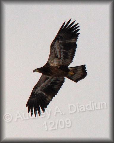 Aad-BaldEagle-juvie-12-26-09-7137