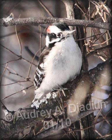 Aad-DownyWoodpecker-01-10-10-7943