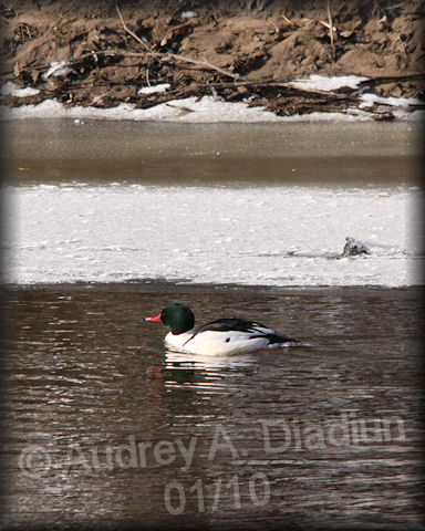 Aad-CommonMerganser-male-01-10-10-7967