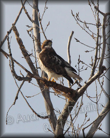 Aad-Red-TailedHawk-01-14-10-8148