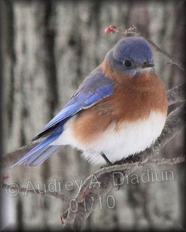 Aad-EasternBluebird-01-15-10-8205
