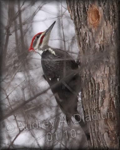 Aad-PileatedWoodpecker-01-19-10-8296