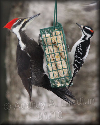 Aad-PileatedWoodpecker-female-Downy-1-23-10-8468