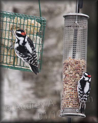 Aad-DownyWoodpecker-1-23-10-8437