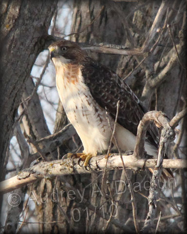 Aad-Red-TailedHawk-1-31-10-9062