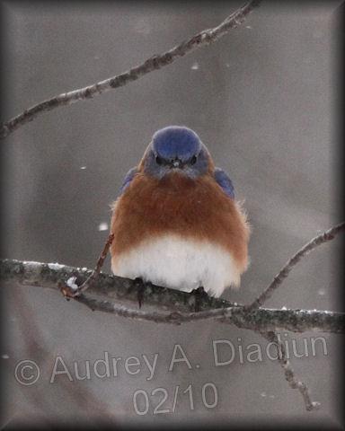 Aad-EasternBluebird-2-3-10-9118