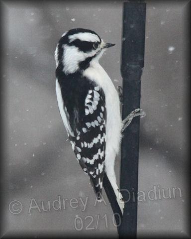 Aad-DownyWoodpecker-2-6-10-9245