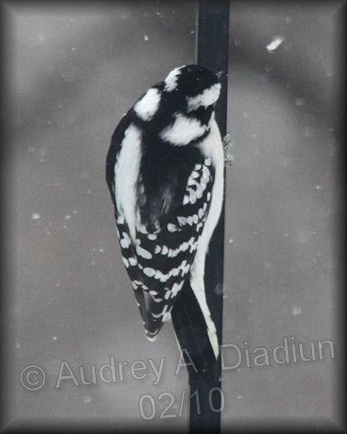 Aad-DownyWoodpecker-2-6-10-9248