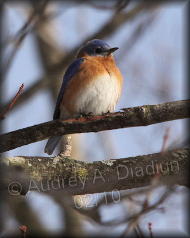 Aad-EasternBluebird-2-7-10-9319