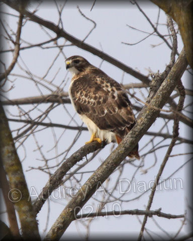 Aad-Red-TailedHawk-2-11-10-9393