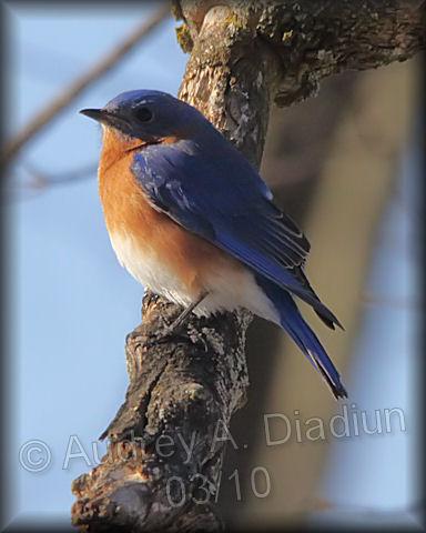 Aad-EasternBluebird-3-6-10-9894
