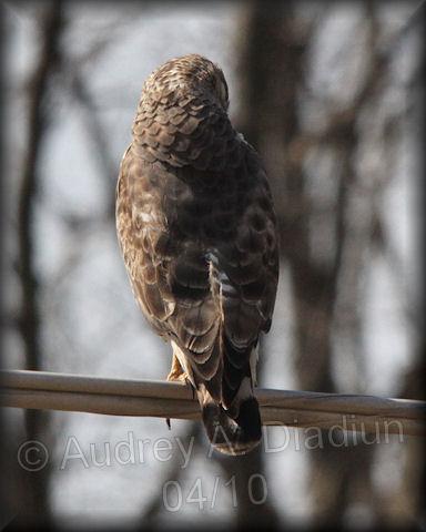 Aad-Broad-WingedHawk-4-15-10-0276