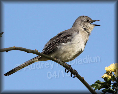 Aad-NorthernMockingbird-4-18-10-0336