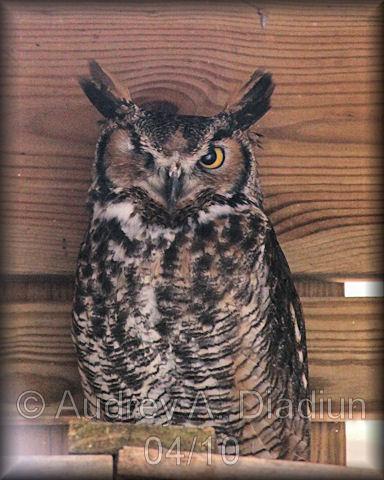 Aad-GreatHornedOwl-4-19-10-0517