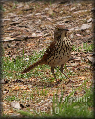 Aad-BrownThrasher-4-20-10-0843