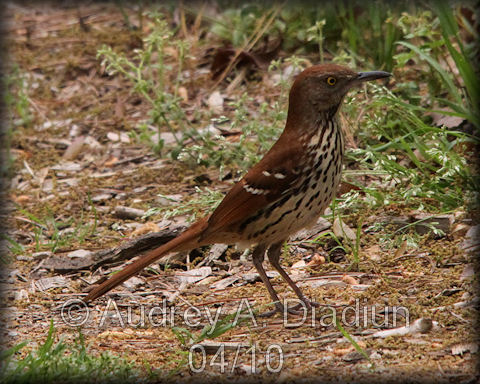 Aad-BrownThrasher-4-20-10-0844