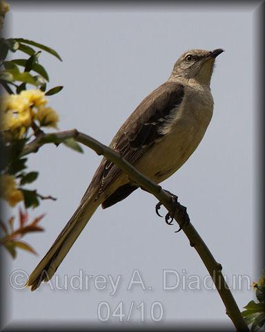 Aad-NorthernMockingbird-4-20-10-0870
