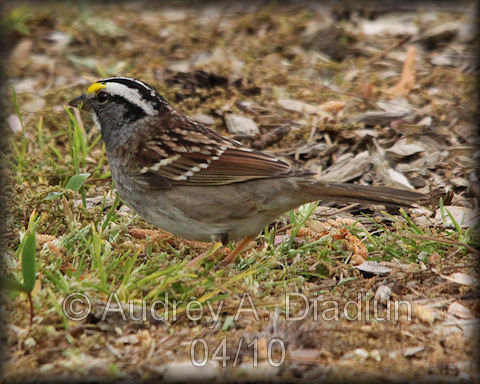 Aad-White-ThroatedSparrow-4-20-10-0848