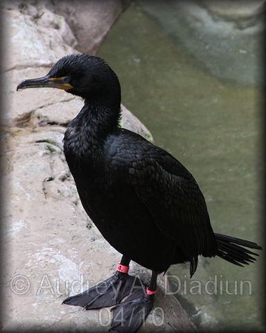 Aad-Double-CrestedCormorant-4-21-10-0976