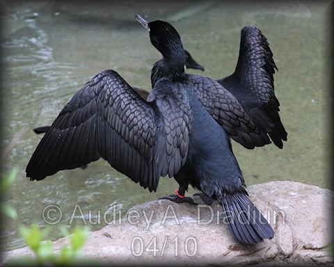 Aad-Double-CrestedCormorant-4-21-10-1019