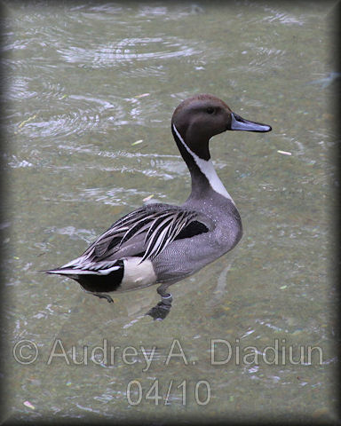 Aad-NorthernPintail-4-21-10-1136