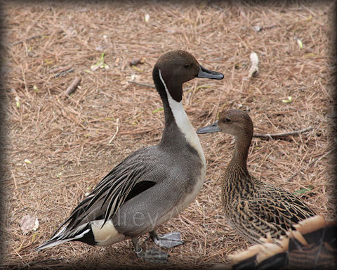 Aad-NorthernPintail-4-21-10-1142