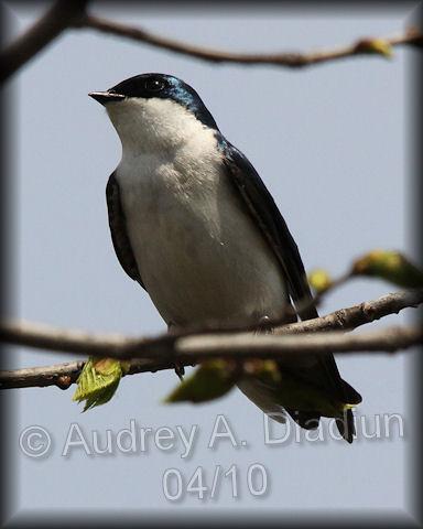 Aad-TreeSwallow-4-30-10-1733