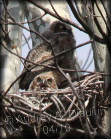 Aad-GHO-owlets-4-30-10-1779