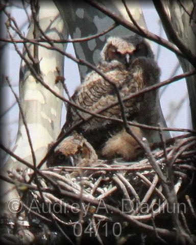 Aad-GHO-owlets-4-30-10-1848