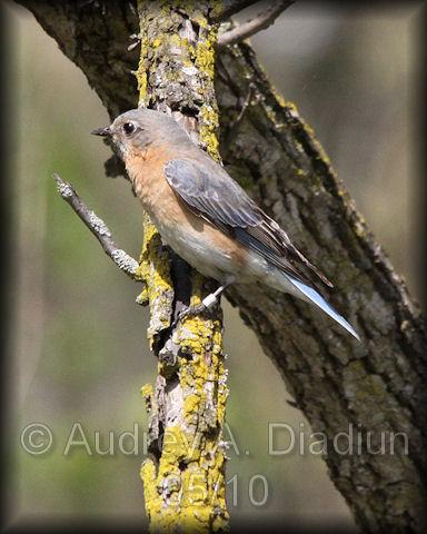 Aad-EasternBluebird-5-1-10-1865