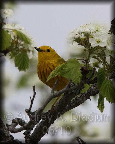 Aad-YellowWarbler-5-1-10-1867