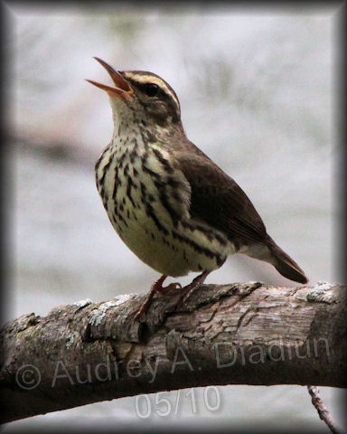 Aad-NorthernWaterthrush-05-01-10-1907