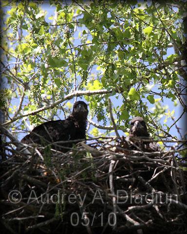 Aad-BaldEagle-Eaglets-5-6-10-2333
