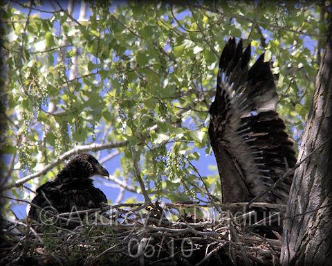 Aad-BaldEagle-Eaglets-5-6-10-2317