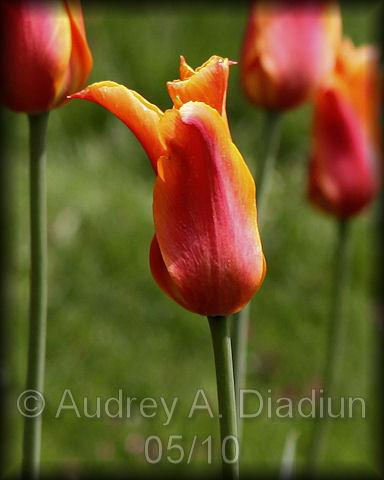 Aad-tulip-5-8-10-2450