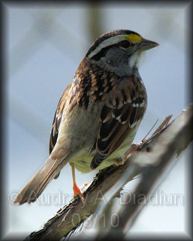 Aad-White-ThroatedSparrow-5-9-10-2857