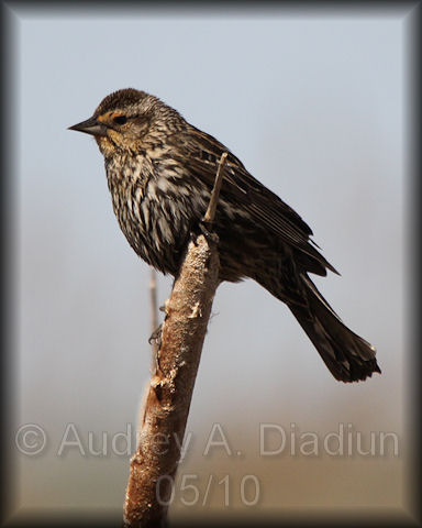 Aad-Red-WingedBlackbird-5-9-10-2718