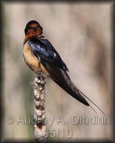 Aad-BarnSwallow-5-9-10-2523